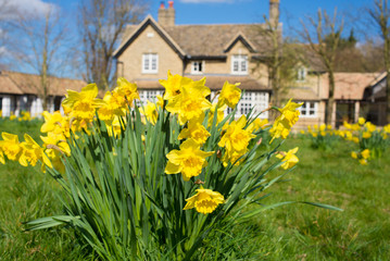 Yellow daffodils narcissus growing on a green grass lawn with big country house British style in the background