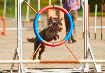 Spanish waterdog jumping through a hurdle at dog agility training. Big fur blowing in wind. Action and sports in concept.