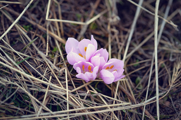 7bf649d39aec a group of crocuses in mountain