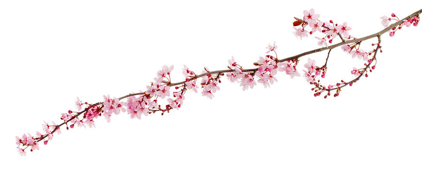 Cherry blossom branch, sakura flowers isolated on white background