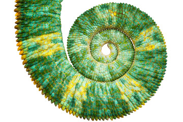 Photo sur Plexiglas Cameleon Close view of a beautiful green colorful chamaeleo calyptratus tail revealing the mathematic fibonacci spiral curve on black background. Species also called veiled, cone-head or yemen chameleon.