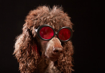 Funny dog portrait with glasses