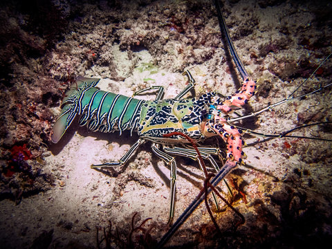 Giant lobster on the bottom of the sea