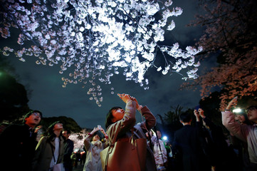 Visitors take photos under illuminated cherry blossoms in full bloom at Ueno Park in Tokyo