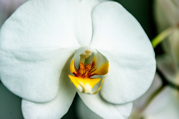 A beautiful pure orchid flower head
