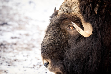 Fototapeta bizon