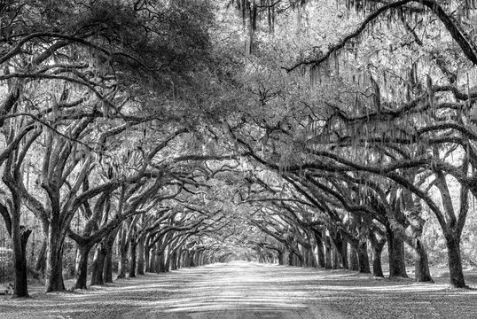 Wormsloe park, life oak tree alley, Savannah