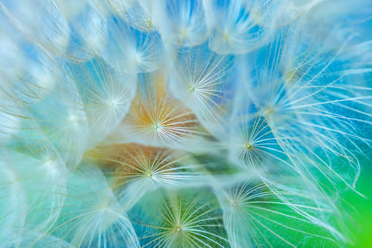 dandelion seed close up