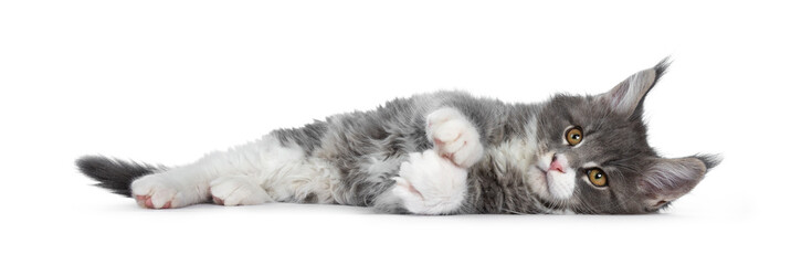 Wall Mural - Charming cute blue with white Maine Coon cat kitten, laying down side ways. Looking at lens with smart brown eyes. Isolated on white background. Totally relaxed.