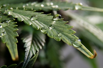 Weed leaf detail with water drops