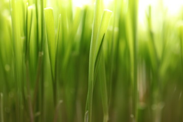 grass with water drops of dew