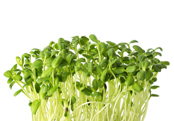 Fresh microgreens of Sunflowers isolated on white background.