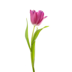 Papiers peints Tulip lilac tulip flower head isolated on white