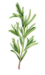 Watercolor rosemary twig illustration
