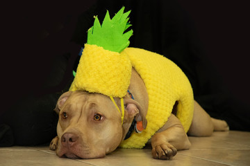 Pitbull disguised as pineapple for Halloween