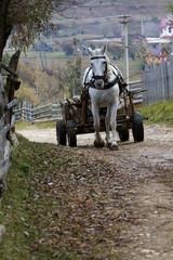 Ein Schimmel zieht einen alten Holzwagen bergauf im Nationalpark Königstein