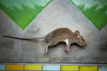 body of dead rat on raw cement floor