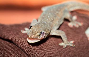 A common house gecko (Hemidactylus frenatus) licks its eye. Photographed in Costa Rica. Wall mural