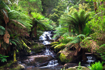 A small creek flows through a lush temperate rainforest lined with tree ferns in the Great Otway National Park, Victoria, Australia. Wall mural