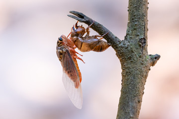 Cicada sloughing off  its gold shell with blurred background Wall mural