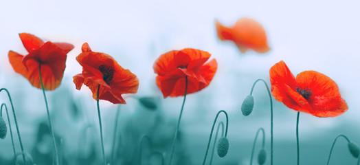 Fotobehang Poppy Red poppy flowers isolated on gray background.