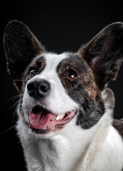 Beautiful brown corgi dog closeup emotional portrait