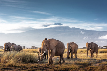 Herd of African Elephants in Front of Kilimanjaro