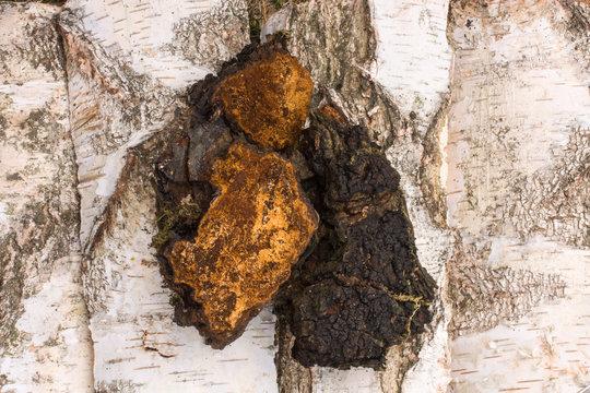 Chaga mushroom natural medicine from birch