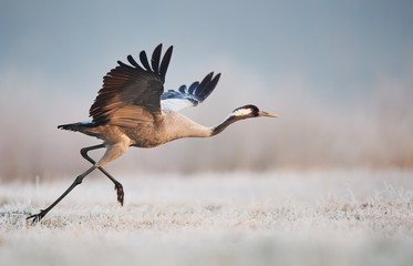 Common crane (Grus grus) Fototapete