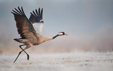 Poster de jardin Oiseau Common crane (Grus grus)