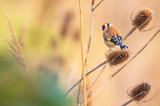 European goldfinch bird, (Carduelis carduelis), feeding on Teasel Dipsacus