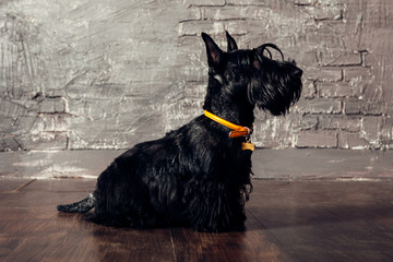 Scottish terrier puppy is posing in studio on wooden background