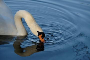 Swan dipping