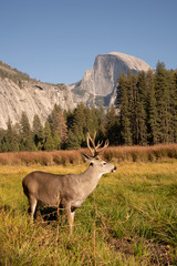 USA, California, Yosemite National Park, deer on a field with El Capitan in background