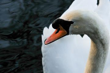 swan dribbling