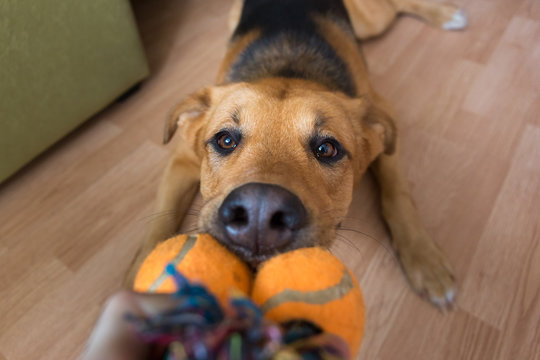 A red mixed breed dog playing with its owner on a frisk morning in a room