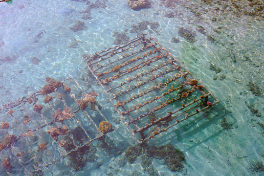 Growing a coral reef artificially on a metal cage in the Bora Bora lagoon