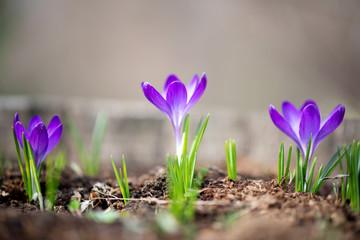 Close up of flowering purple crocus in spring garden - elective focus, copy space