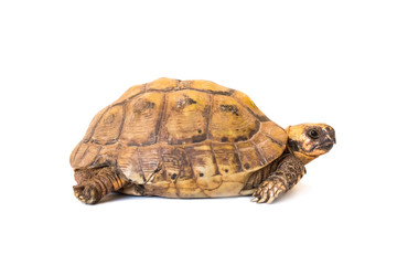 Photo sur Toile Tortue little brown turtle isolated on white background, close-up