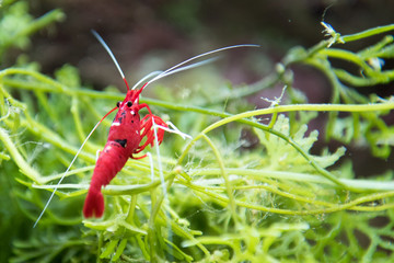 red shrimp with white paws