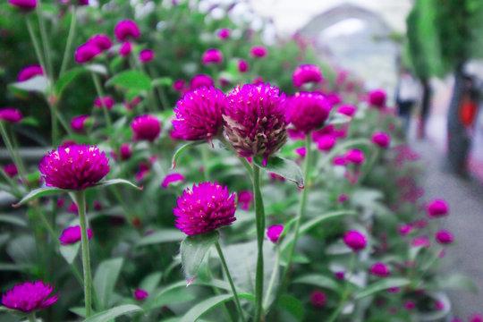 Gomphrena garden