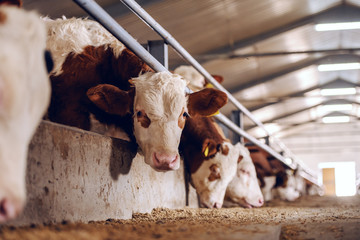 Cute white and brown calf looking at camera in barn. Meat industry concept.