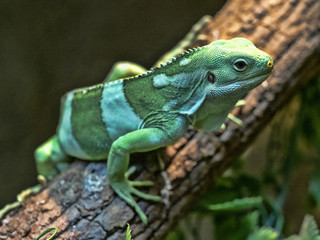 Fiji banded iguana, Brachylophus fasciatus, rare iguana from Fiji