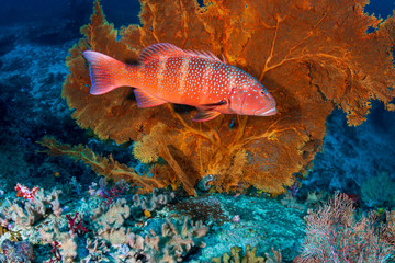 Coral Grouper on a tropical coral reef