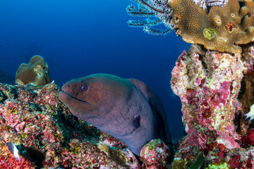 Wall Mural - Giant Moray Eel hidden in a hole in a tropical coral reef