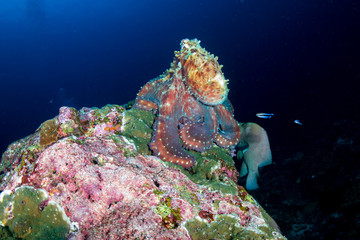 Wall Mural - Large Octopus on a tropical coral reef at sunset