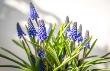 Traubenhyazinthe Muscari im Blumentopf