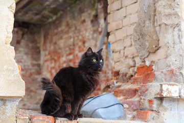 Homeless black cat in spring on the ruins of an old house Wall mural