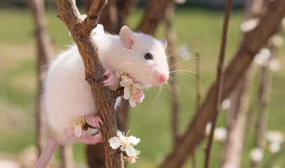 Cute baby pet mouse sitting on a branch of a flowering tree. Spring concept