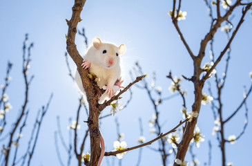 Little cute white mouse sitting on a branch of a spring flowering fruit tree against the blue sky and the sun